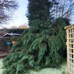 Storm damaged conifer in Medway