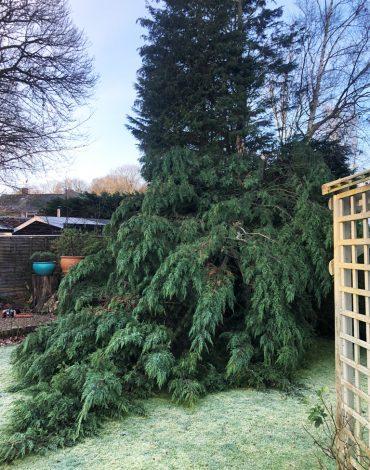 Storm-damaged-conifer-in-Medway--1