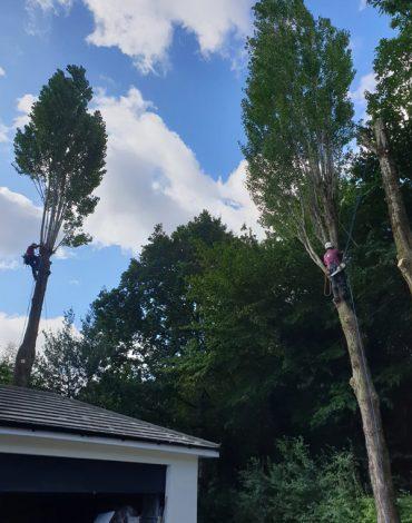 lombardy-poplar-removal-main