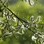 What is Tree Pollen?