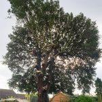 Holm Oak Tree Pollard in Maidstone